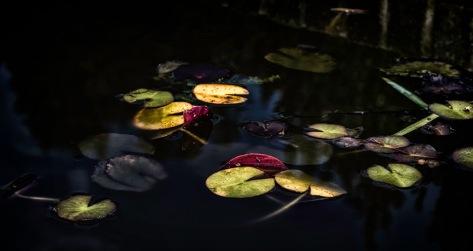 Lily Pads - Reynolda Gardens, Winston-Salem, NC