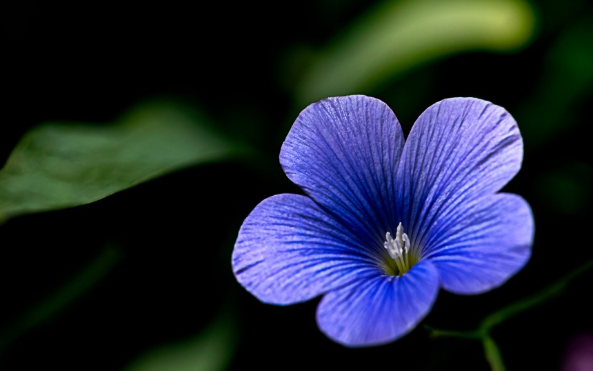 Heavenly-Blue - Blue Flax