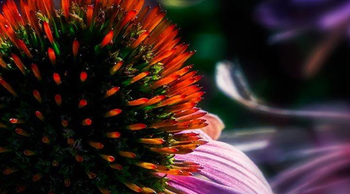 coneflower-echinacea