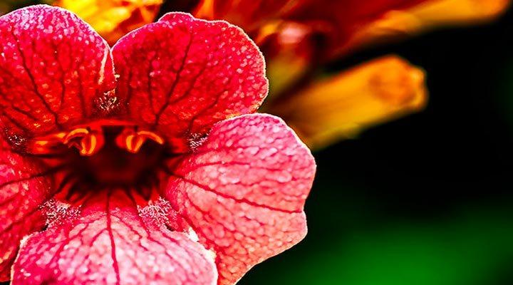 trumpet-flower